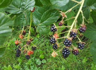 blackberries on vine