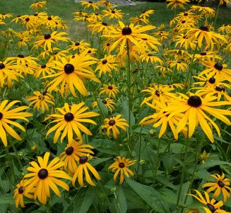 Blackeyed Susan flowers in garden