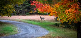 deer on side of road with fall foliage