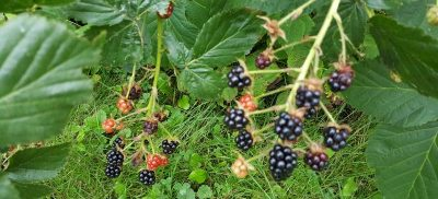 blackberries on vine