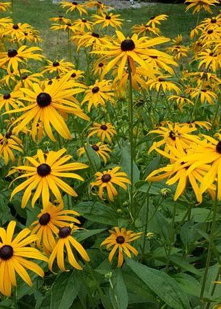 black-eyed susan flowers in garden
